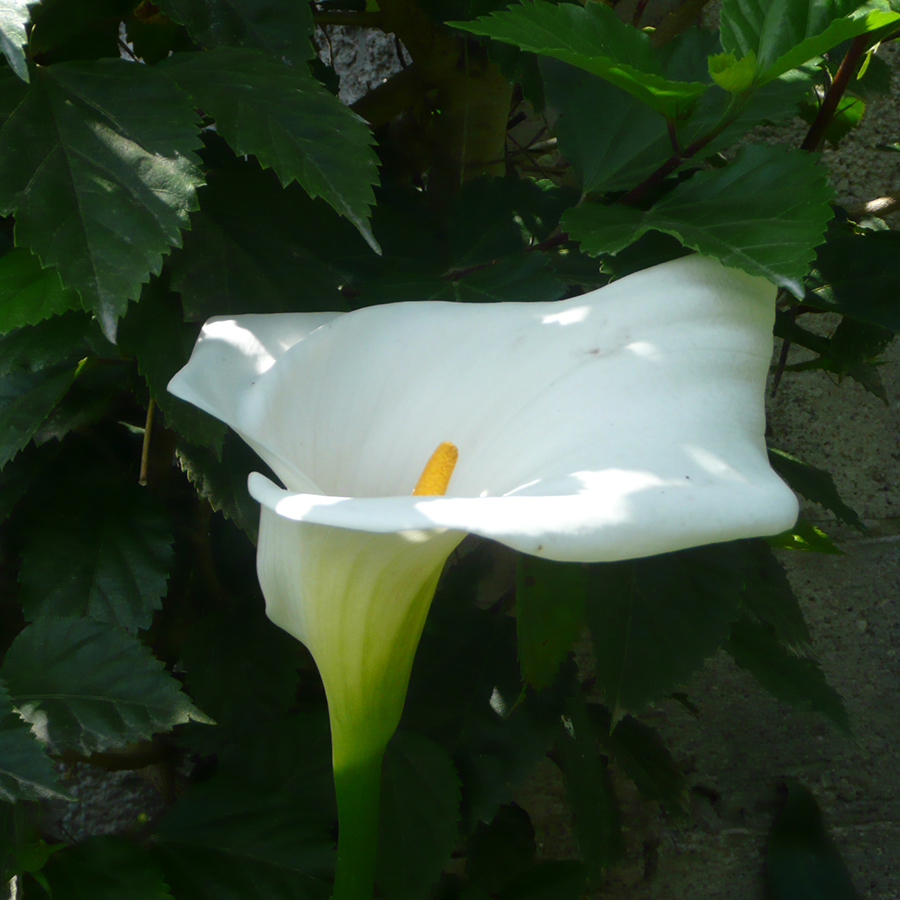 Calla lily spirit essence i am pure izmirmasajfo