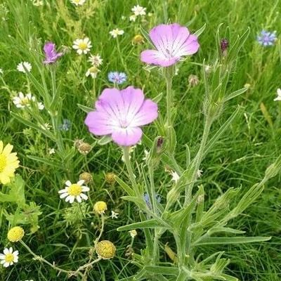 Wild Flower Meadow Turf (Meadowmat) SH-MEADOWMAT-TRAD