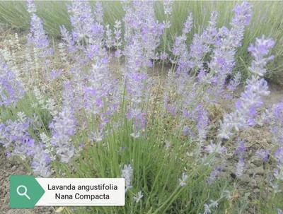 """Lavanda Angustifolia, """"Nana Compacta"""" (18 Cm) Ordinare dal sito: https://www.illavandetodiassisi.com/catalogo-vendita-online.html"""