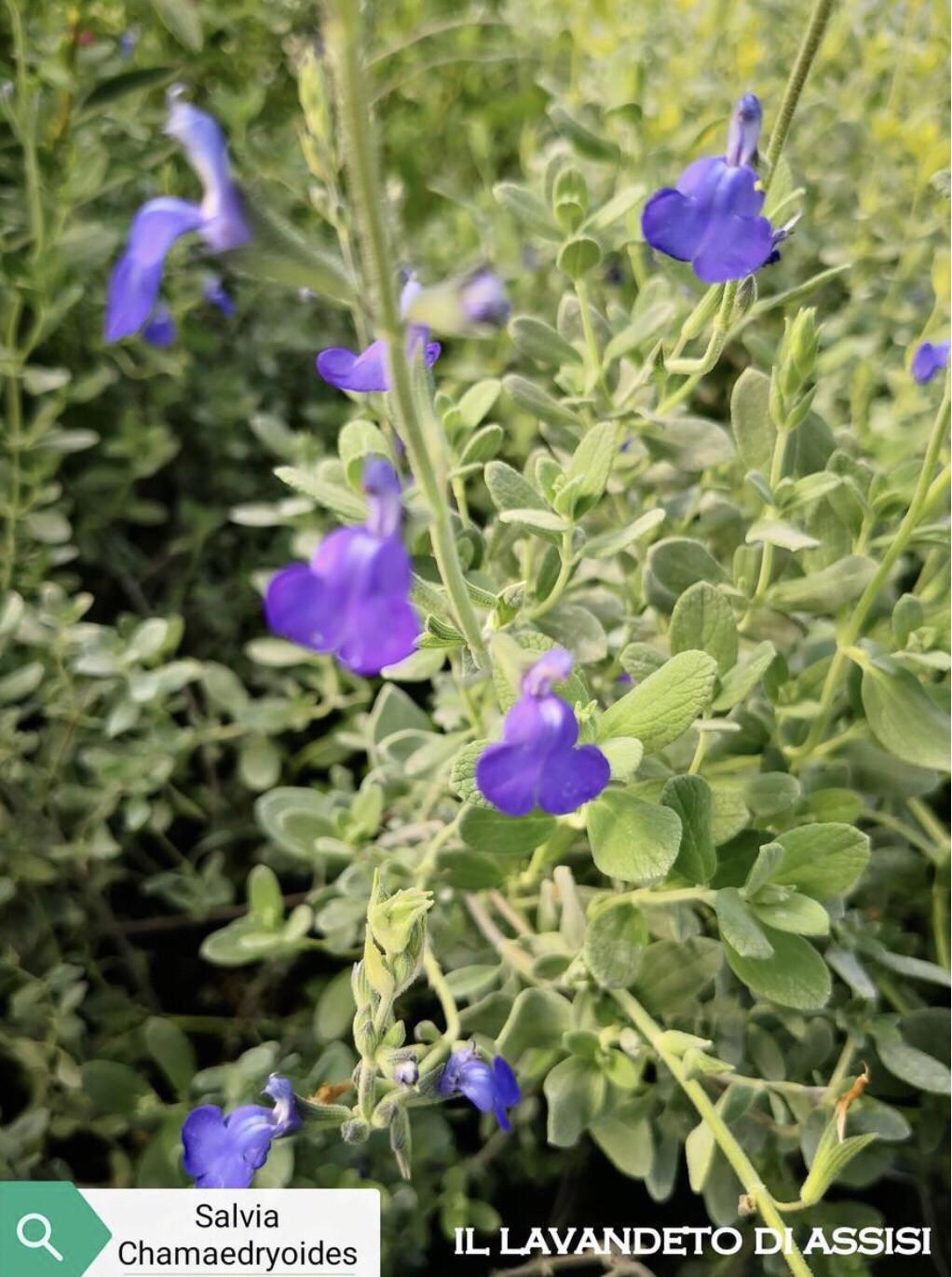 """Salvia """" Chamaedryodides"""" (14 Cm) Ordinare dal sito: https://www.illavandetodiassisi.com/catalogo-vendita-online.html"""