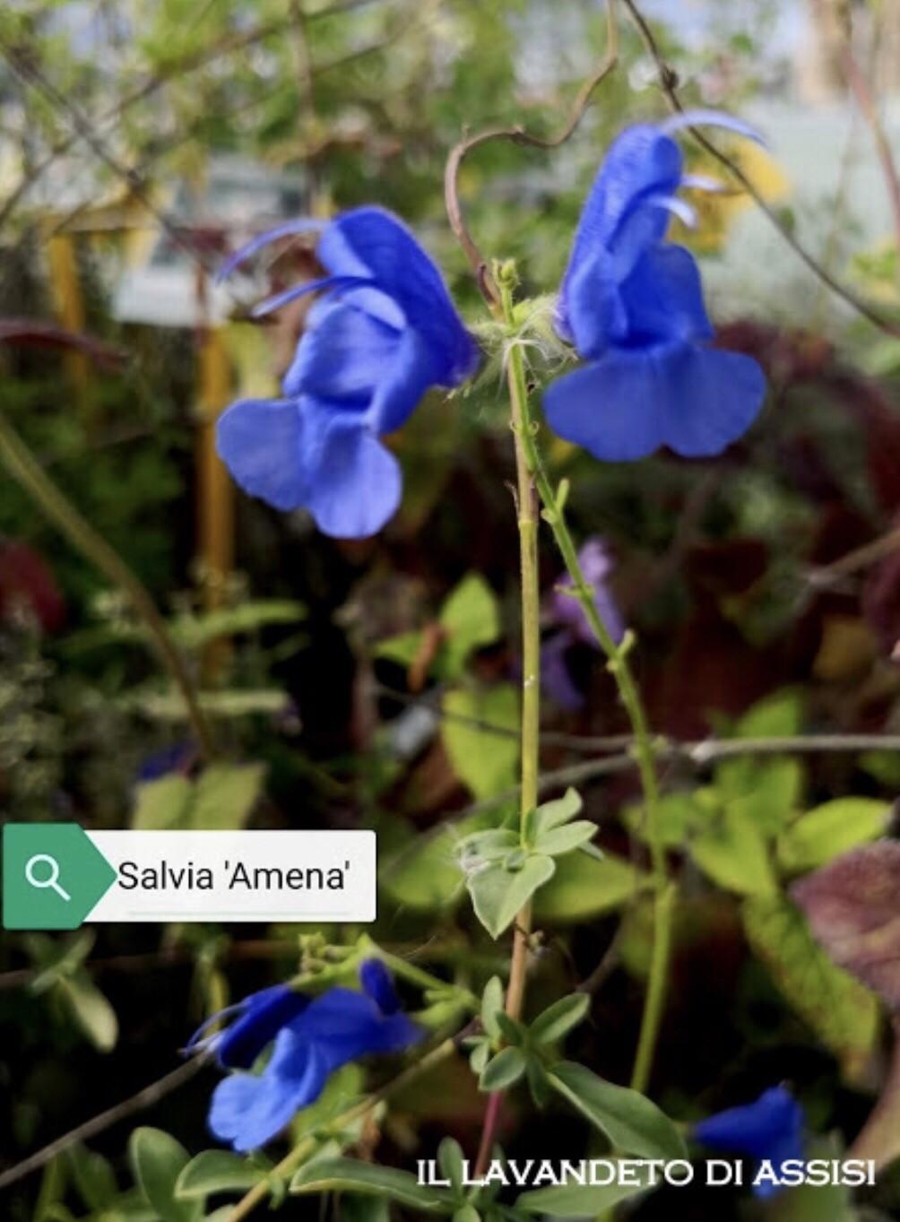 """Salvia """" Amena"""" (14 Cm) Ordinare dal sito: https://www.illavandetodiassisi.com/catalogo-vendita-online.html"""