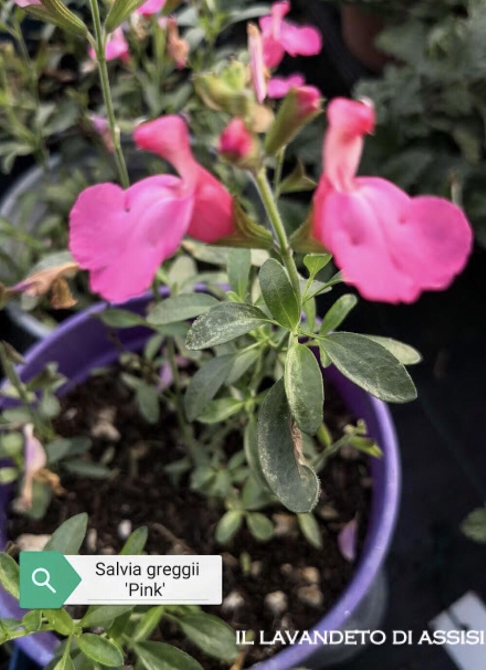 """Salvia """" Greggii Pink"""" (14 Cm) Ordinare dal sito: https://www.illavandetodiassisi.com/catalogo-vendita-online.html"""