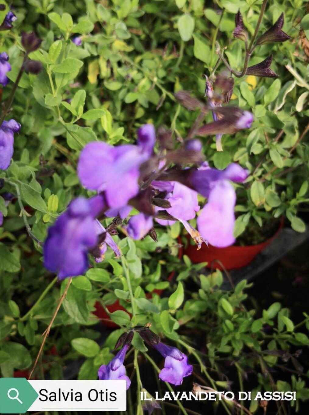 "Salvia "" Otis"" (14 Cm) Ordinare dal sito: https://www.illavandetodiassisi.com/catalogo-vendita-online.html"