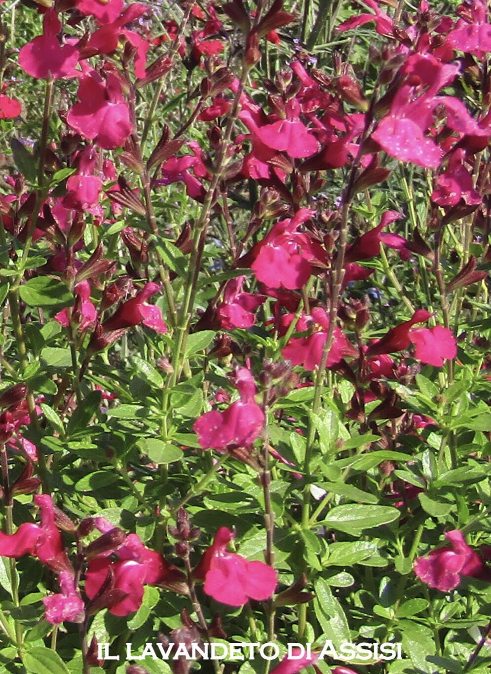 """Salvia """" Puebla Rose"""" (14 Cm) Ordinare dal sito: https://www.illavandetodiassisi.com/catalogo-vendita-online.html"""