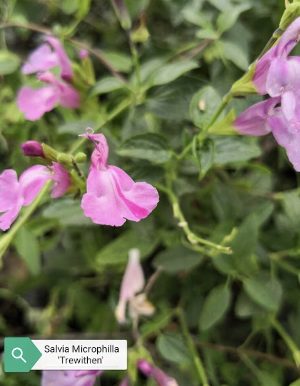 """Salvia """" Trewiten"""" (14 Cm) Ordinare dal sito: https://www.illavandetodiassisi.com/catalogo-vendita-online.html"""