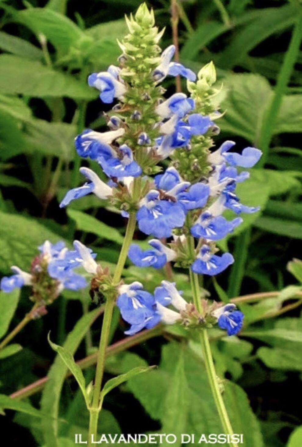 """Salvia """" Uliginosa"""" (14 Cm) Ordinare dal sito: https://www.illavandetodiassisi.com/catalogo-vendita-online.html"""