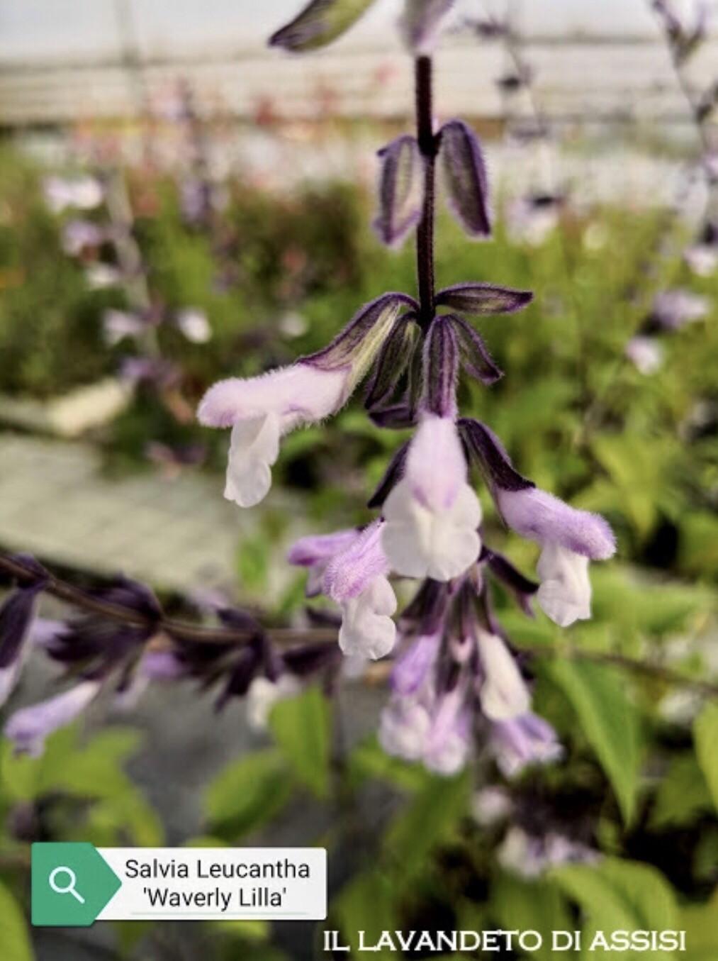 """Salvia """" Waverly Lilla"""" (14 Cm) Ordinare dal sito: https://www.illavandetodiassisi.com/catalogo-vendita-online.html"""