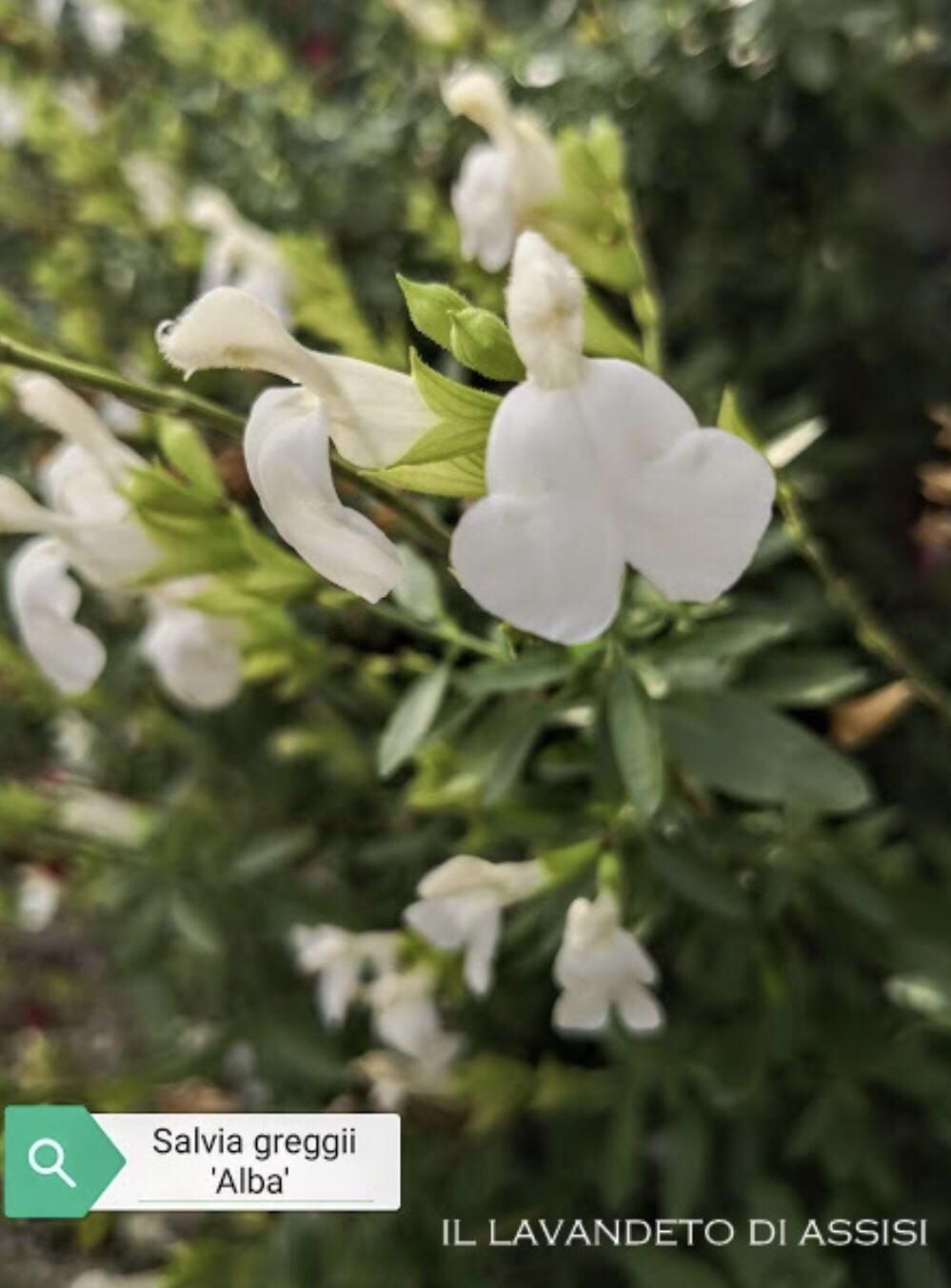 """Salvia Greggii """" Alba"""" Ordinare dal sito: https://www.illavandetodiassisi.com/catalogo-vendita-online.html"""