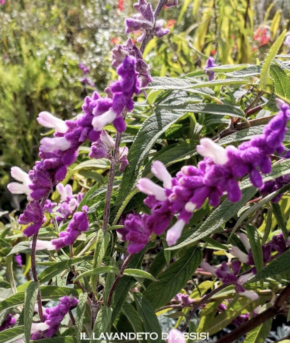 """Salvia """" Leucantha"""" (14 Cm) Ordinare dal sito: https://www.illavandetodiassisi.com/catalogo-vendita-online.html"""