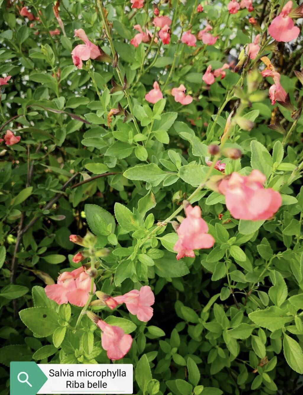"""Salvia Microphylla """" Rimbambelle"""" (14 Cm) Ordinare dal sito: https://www.illavandetodiassisi.com/catalogo-vendita-online.html"""