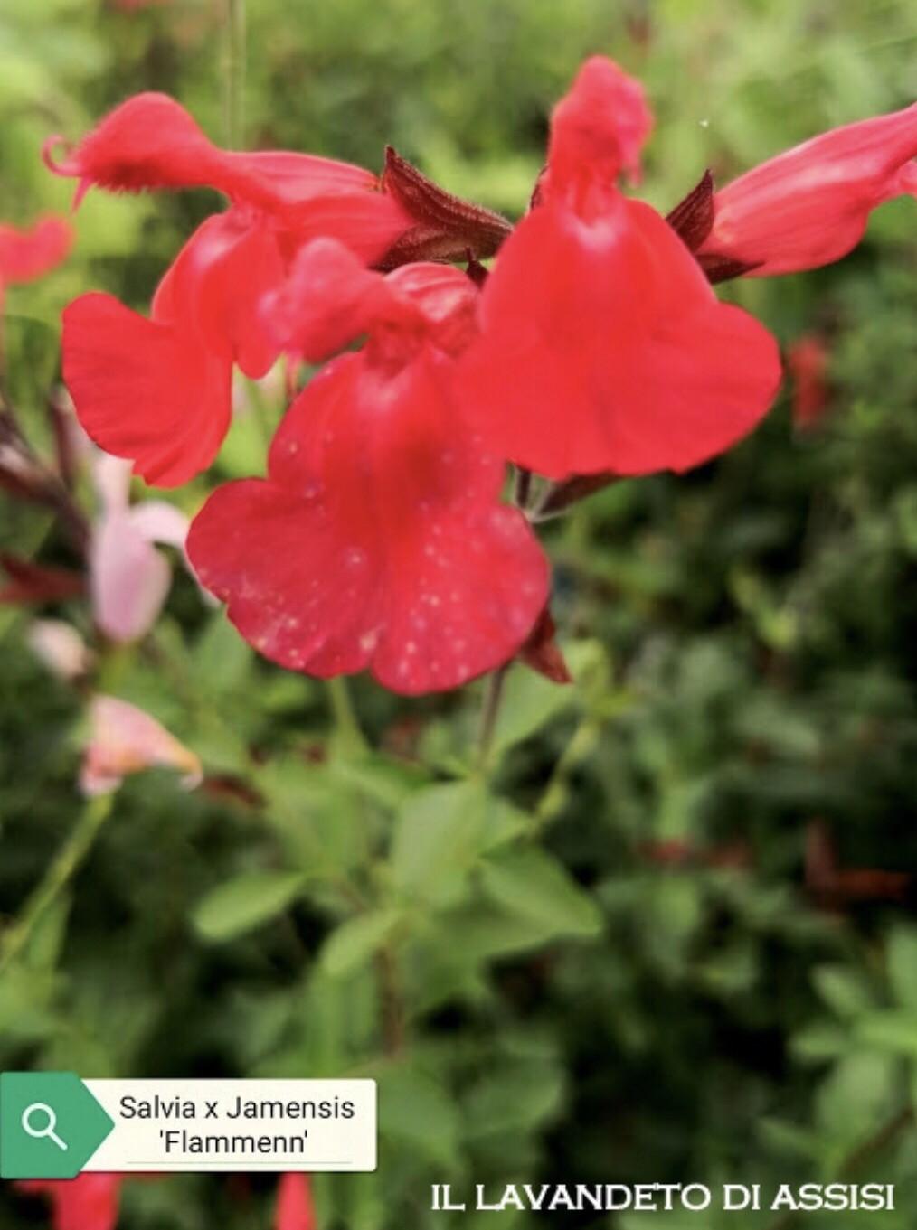 """Salvia X Jamensis """" Flammen"""" Ordinare dal sito: https://www.illavandetodiassisi.com/catalogo-vendita-online.html"""
