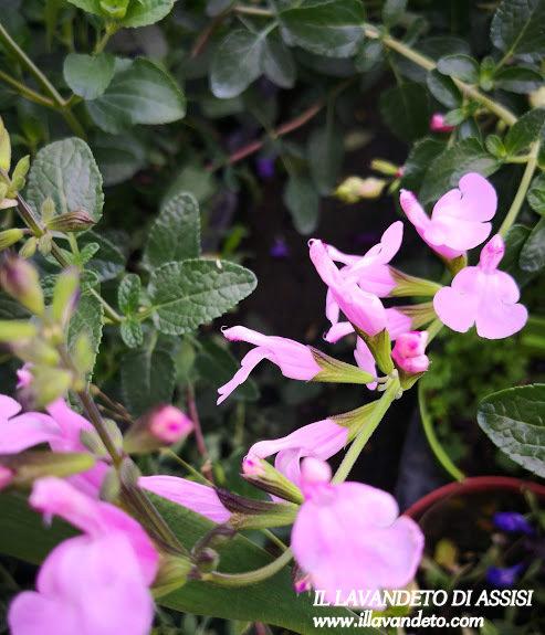 """Salvia """"Stormy Pink"""" (14 Cm) Ordinare dal sito: https://www.illavandetodiassisi.com/catalogo-vendita-online.html"""