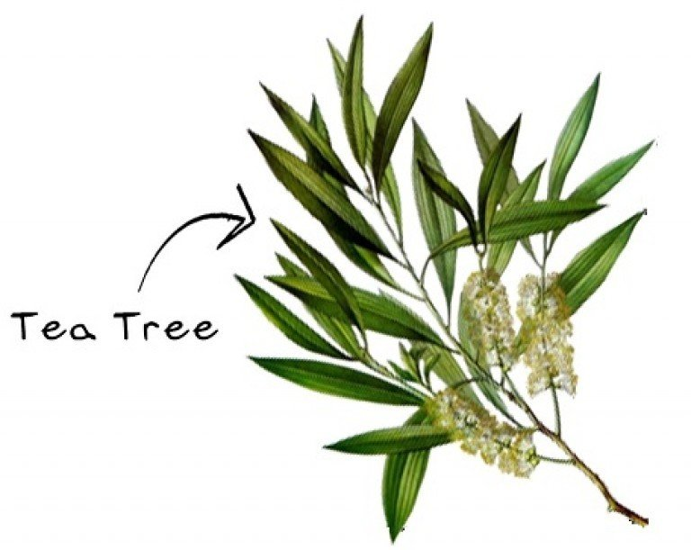 Natural Tea Tree oil and Lemongrass cleaning and fragrance