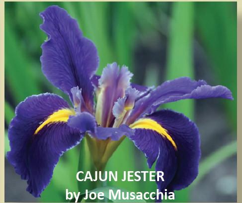 CAJUN JESTER-New Introduction 2019