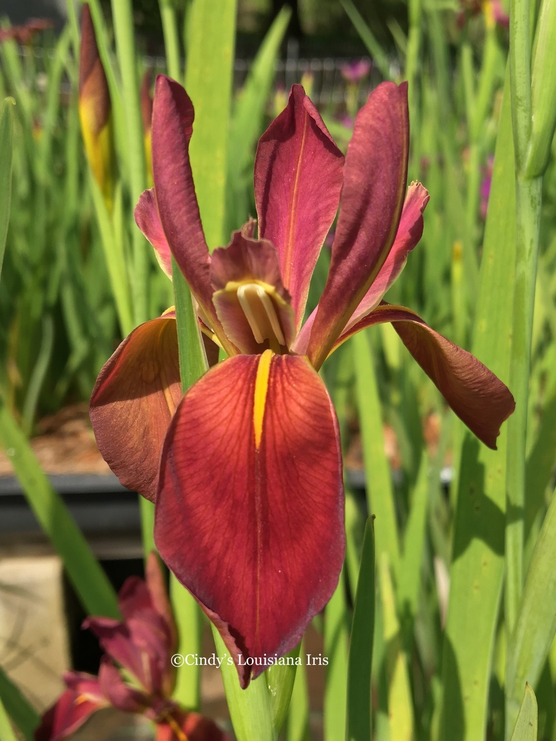ABBEVILLE RED- SPECIES TYPE IRIS -i. Nelsonii x Fulva (NATIVE)