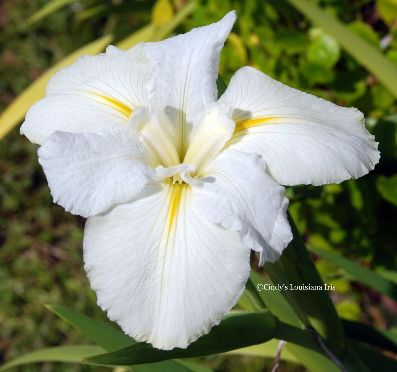 CAJUN WHITE LIGHTNING