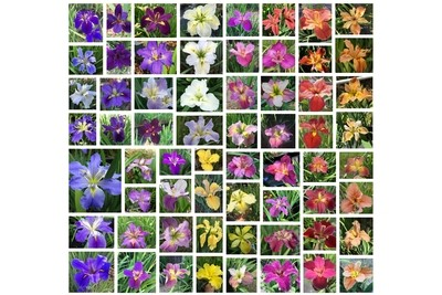 100 iris in mixed colors  collection