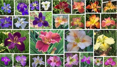 50 iris in mixed colors  collection