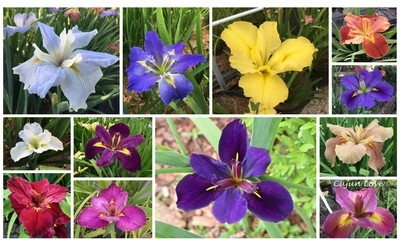 25 iris in mixed colors  collection