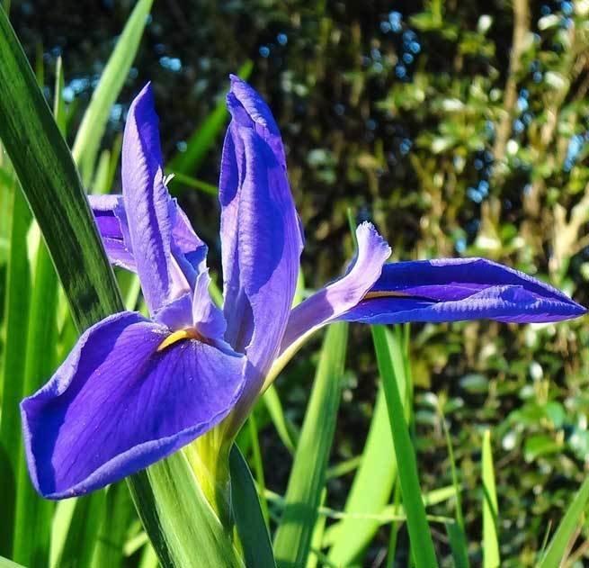 GIANT BLUE FLAG-Native Species Giganticaerulia
