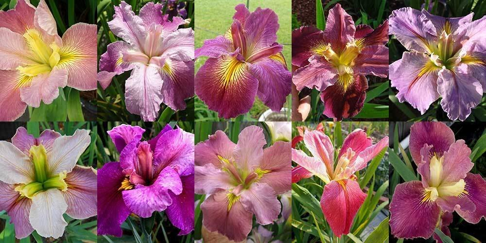 50 Iris in Shades of Pink
