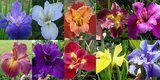 25 mixed colors iris collection