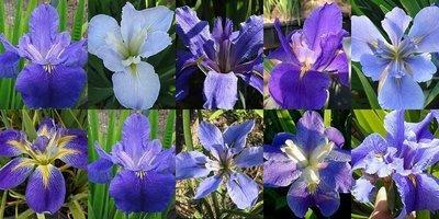 25 Iris in Shades of Blue