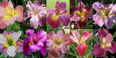 25 Iris in Shades of Pink