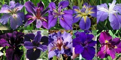 25 Iris in Shades of Purple