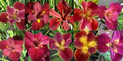 25 Iris in Shades of Red