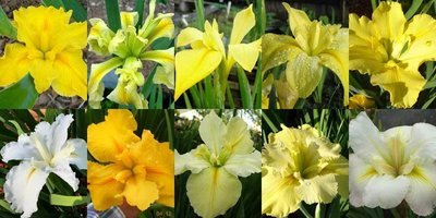 25 Iris in Shades of Yellow & White