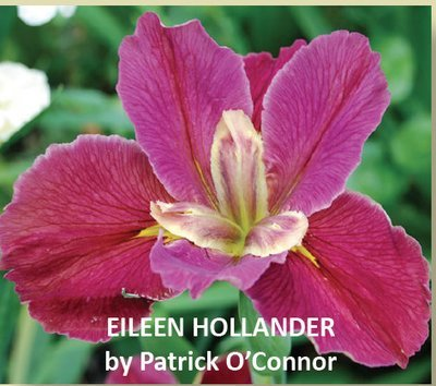 EILEEN HOLLANDER-New Introduction 2019