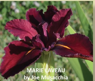MARIE LAVEAU-New Introduction 2019
