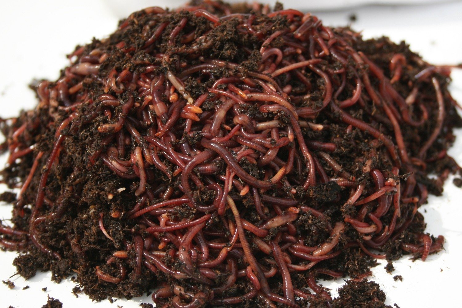 Red Worms 1 lb