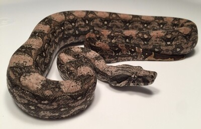 2018, Female, 4th Gen Maxx Pink, Orange highlights selection, Argentine Boa by Ancient Reproductions