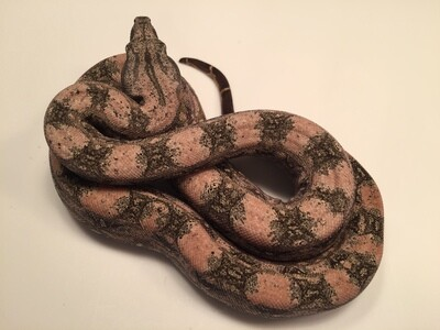 2018, Male, 4th Gen Maxx Pink, Orange highlights selection, Argentine Boa by Ancient Reproductions