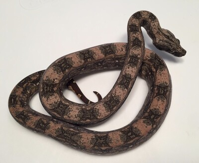 2018, Female, 4th Gen Maxx Pink, Orange selection, Argentine Boa by Ancient Reproductions