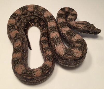 2018, Male, 4th Gen Maxx Pink, Argentine Boa by Ancient Reproductions