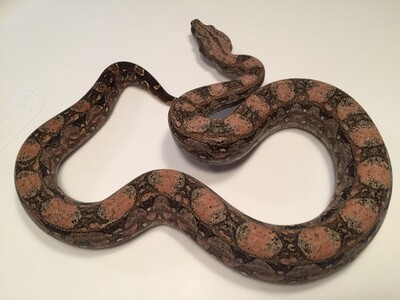 2018, Female, 4th Gen Maxx Pink, Argentine Boa by Ancient Reproductions