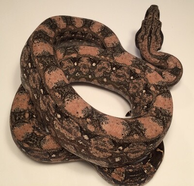 2018, COLORFUL PINK Female, 4th Gen Maxx Pink, Argentine Boa by Ancient Reproductions
