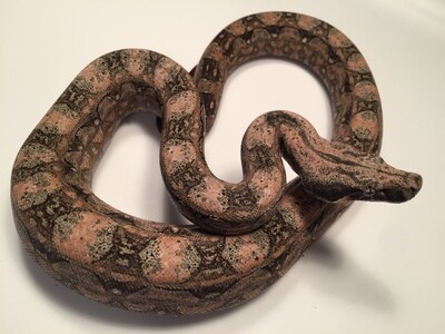 2018, Male, Killer PINK head, Male, 4th Gen Maxx Pink, Argentine Boa by Ancient Reproductions