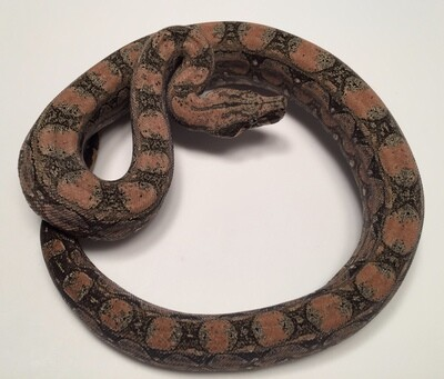 2018, TOP Level, Male, 4th Gen Maxx Pink, Argentine Boa by Ancient Reproductions