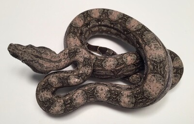 2018, Male, 4th Generation Maxx Pink Argentine Boa by Ancient Reproductions