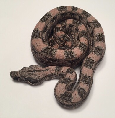 2018, COLORFUL PINK Male, 4th Gen Maxx Pink, Argentine Boa by Ancient Reproductions
