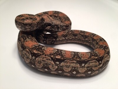 Male, 2018, 4th Generation Maxx Pink Argentine Boa, AR85-BCO-2018-Male-Litter 8