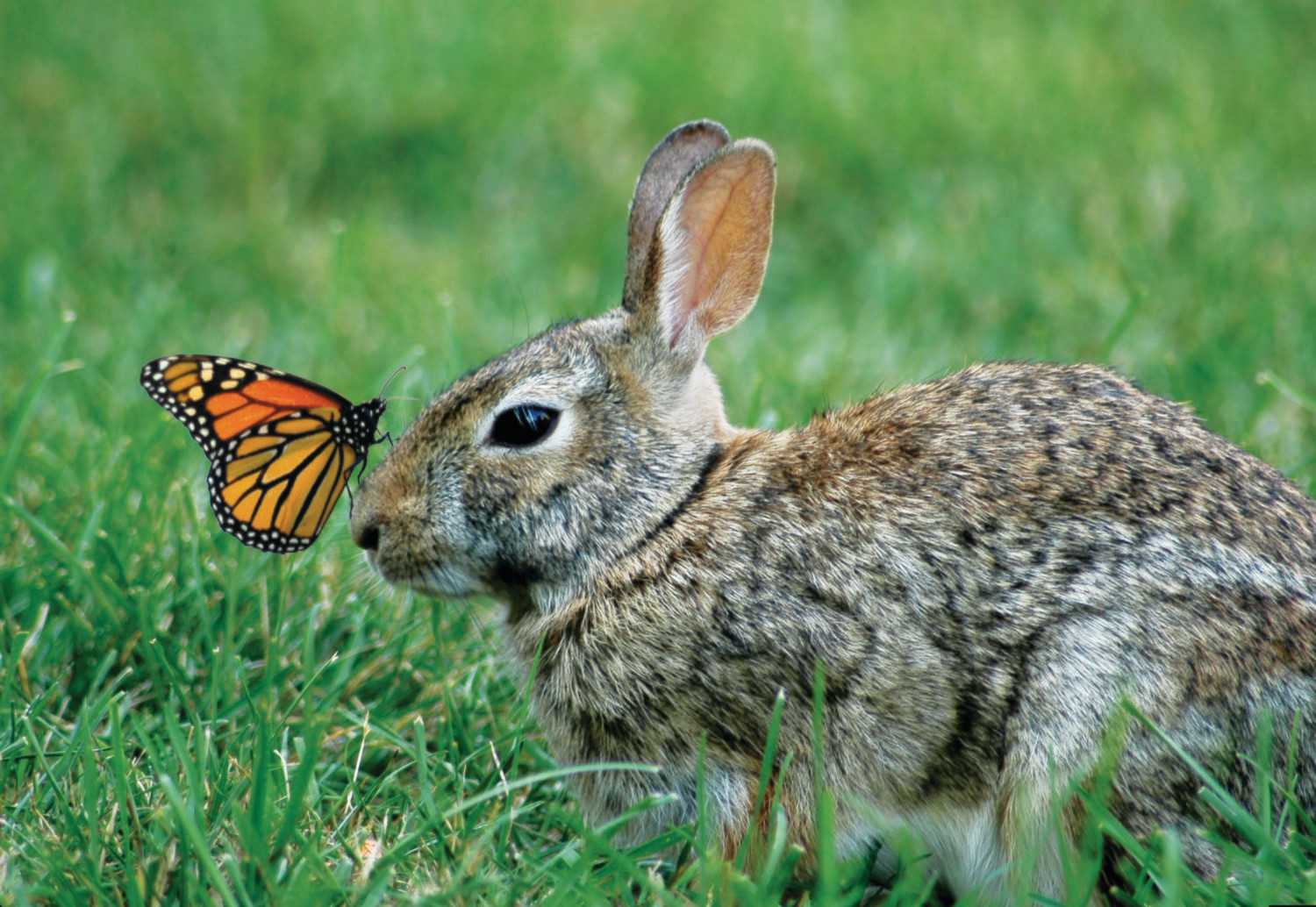 Bunny Butterfly