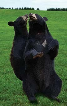 Beary Lovable 2