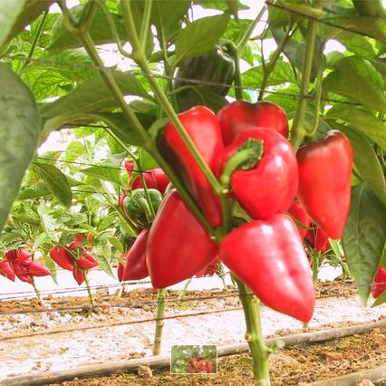 Semences biologiques - Poivron salsa douce