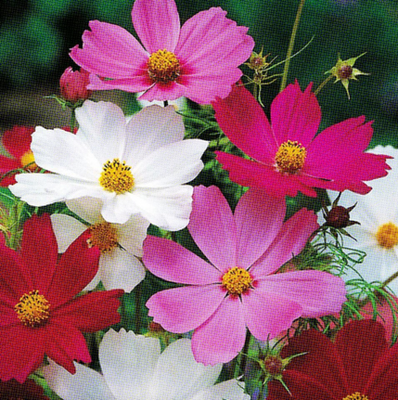 Semences biologiques - Mélange fleur Sensation Cosmos