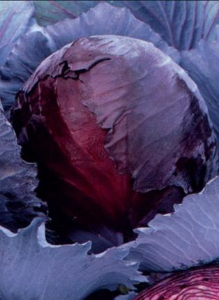 Semences biologiques - Choux Rouge Express